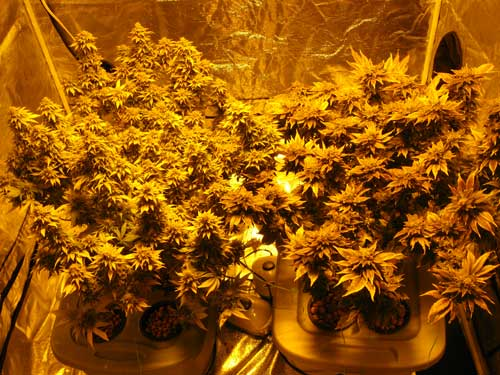 Picture of marijuana plants under HPS lights using the regular camera setting. Notice how everything appears yellow, and it's hard to make out any other colors.