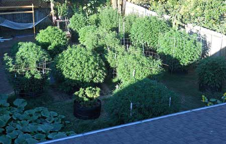 Huge monster cannabis plants in someone's backyard