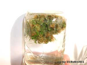 Buds in the process of water curing