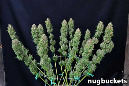 16 cola Ace of Spades cannabis plant at harvest - trimmed - by Nugbuckets