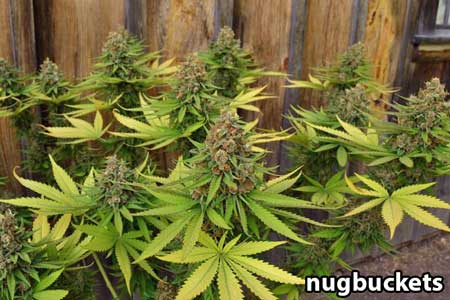 16 headed Aced of Spacdes cannabis plant - side view - by Nugbuckets