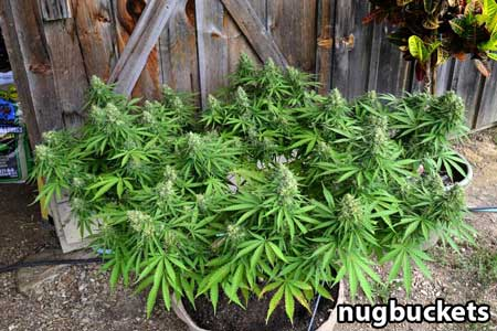 Main-lining Scrog - 32 Colas on this marijuana plant - by Nugbuckets