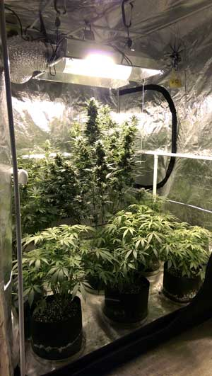 "Example of an auto-flowering cannabis ""Perpetual Harvest"" on training wheels"