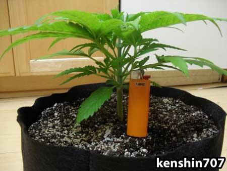 This BlackJack marijuana seedling is ready to start main-lining!