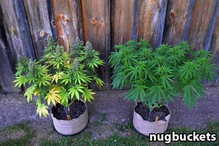 8 Cola plant and 16 cola plant started at the same time, but the 16-headed plant needed much more time in the vegetative stage - Nugbuckets