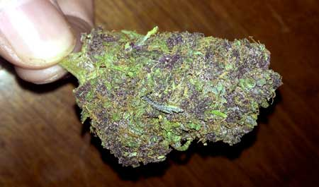 A dense marijuana nug with bits of purple - Use a perpetual harvest to ensure you never run out of weed!