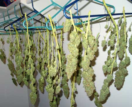 Example of a cannabis harvest drying on clothes hangers in the closet