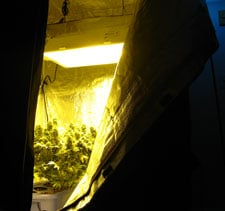 An example of a flowering tent. This tent uses a 600w HPS bulb.