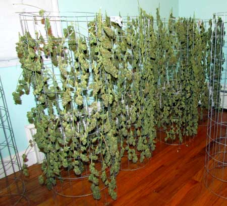 Example of many thick and long cannabis colas drying on mesh racks - what a great harvest!