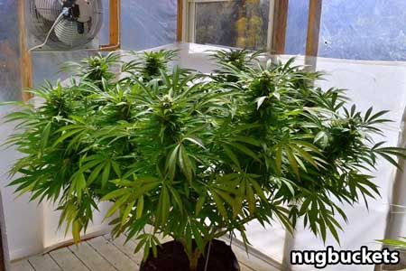 Main-lined marijuana plants naturally grow into a flat, wide shape like this - by Nugbuckets