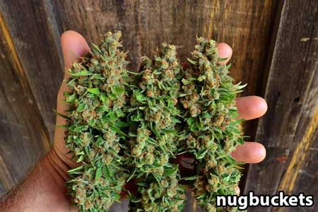 Beautiful main-lined nugs at harvest! - by Nugbuckets