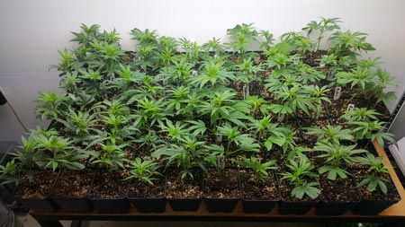 Example of many young, vegetative cannabis plants about to be used as part of a Perpetual Harvest