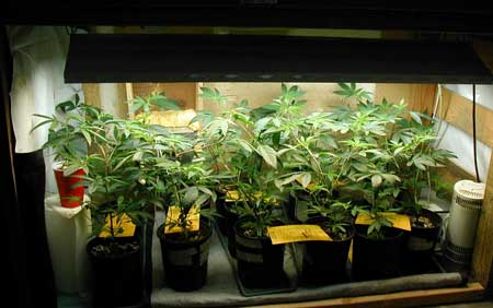Example of marijuana seedlings and clones in this grower's vegetative chamber