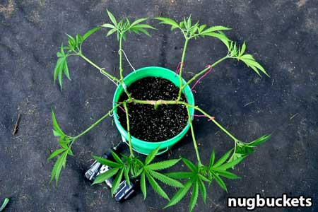 Example of radical main-lining a marijuana plant - Nugbuckets