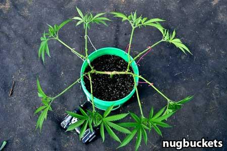Example of radical main-lining a marijuana plant - Nugbuckets