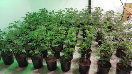 Several marijuana plants are being grown - they're getting close to being put in the flowering chamber!