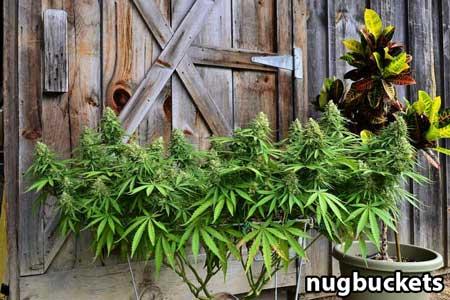 Scrog main-lining setup - Vortex cannabis plant - by Nugbuckets