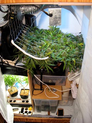Example of a Perpetual Harvest marijuana growing setup in a small space