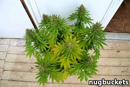 8-headed cannabis plant is starting to fade as buds thicken and harvest approached - Nugbuckets
