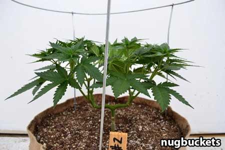 Marijuana plant is transferred to bigger pot with canopy ring - Nugbuckets