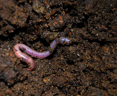 Worms will make your organic super soil even better for your marijuana plants