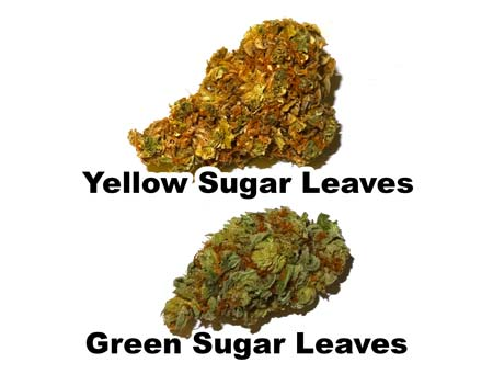 Example of a bud with yellow spots as a result of yellow sugar leaves vs a more cosmetically pleasing green sugar leaves