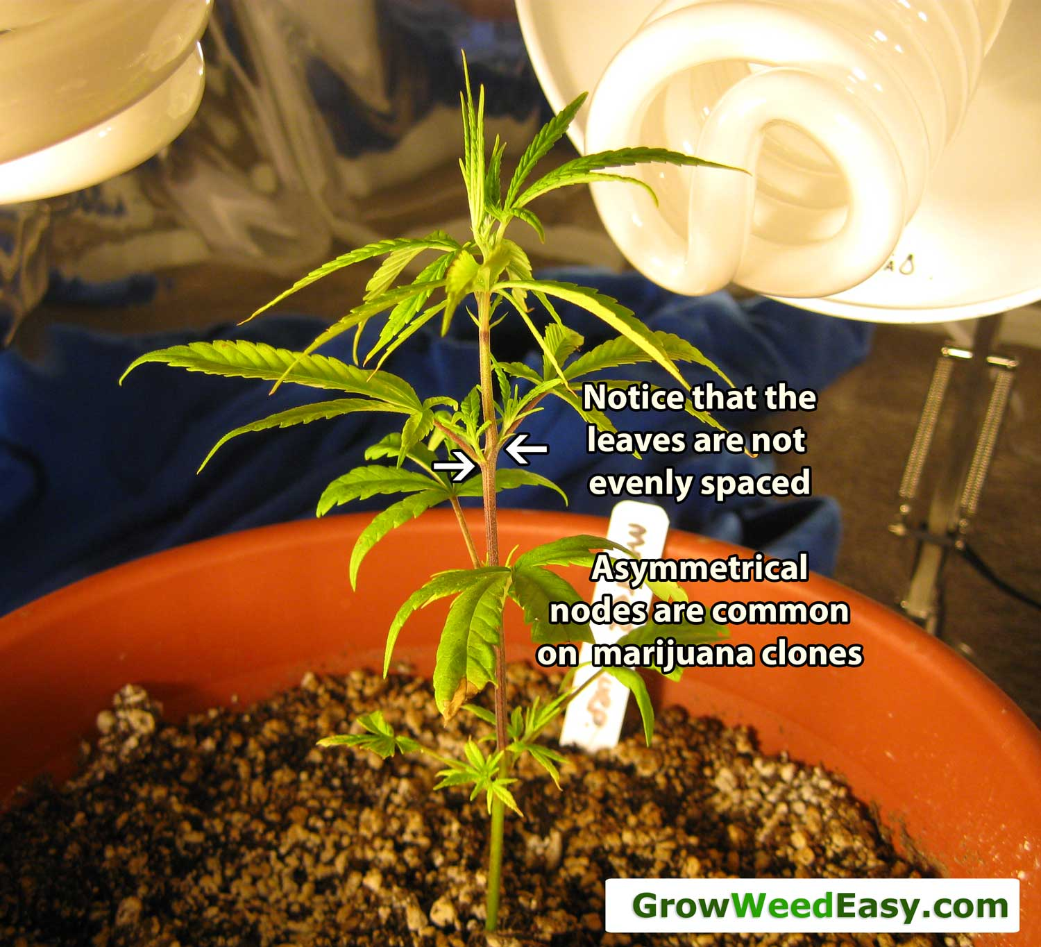 Main-Lining Tutorial: How to Use Clones | Grow Weed Easy