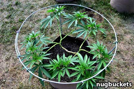 Main-lined clone with 16 colas - Nugbuckets