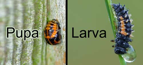 Don't kill the pupa and larva of ladybugs!