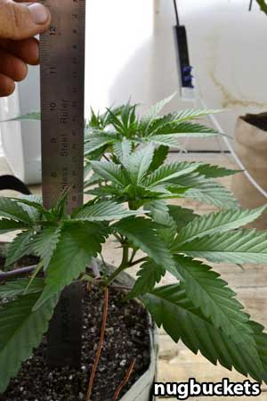 How tall should a main-lined clone be? This ruler shows how tall mine way, just under 10 inches tall