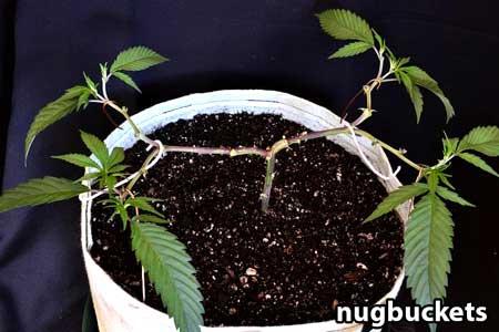 Marijuana clone after being pruned for 8 colas - Clone Main-Lining Tutorial