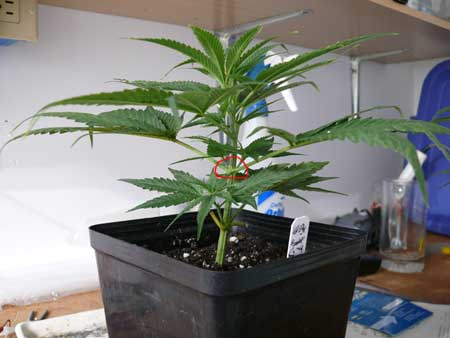 Symmetrical marijuana clone is perfect candidate for main-lining