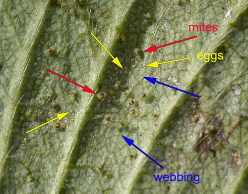 Adult female two-spotted spider mites with eggs and webbing