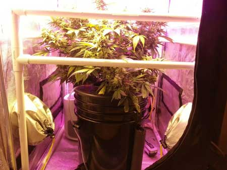 Critical Hog strain - See the ScrOG setup from the side