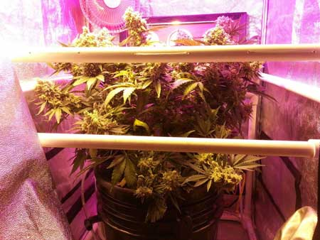 Growing Critical Hog marijuana strain in DWC bucket with ScrOG under HPS/LED combo - View from the side