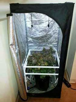 Critical Hog grown in DWC bucket just before harvest - See her in her tent - Denver Grows