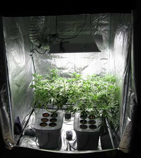 Sirius Cannabis Grow Tent - The Metal Halide bulb is shining on the vegetating cannabis plants