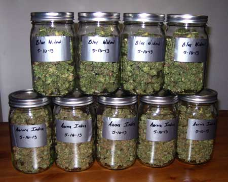 Cannabis in jars after harvest.