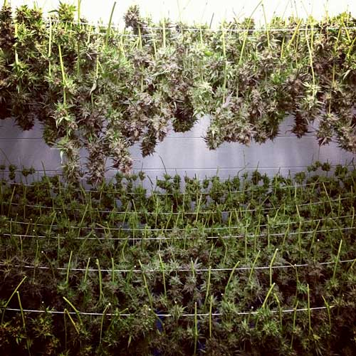 Buds drying - can you affect the potency of cannabis nugs with special light schedules?