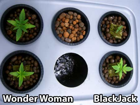 June 29, 2013 - You can seed the 4 cannabis seedlinds in our top-fed DWC hydroponic setup