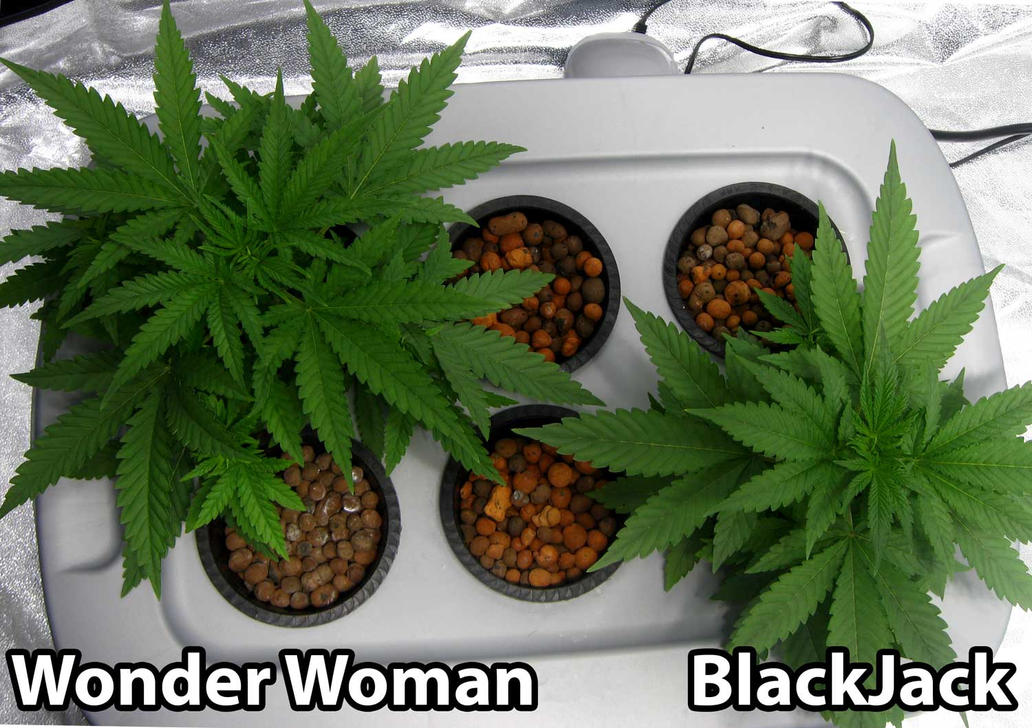 how to grow hydroponic weed from seed