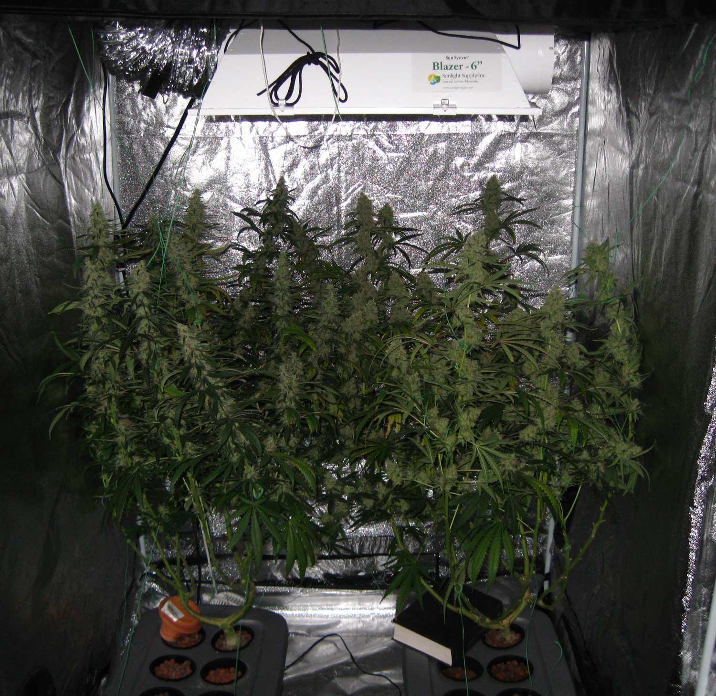 T\u00e4ubchen Pumphosis growing