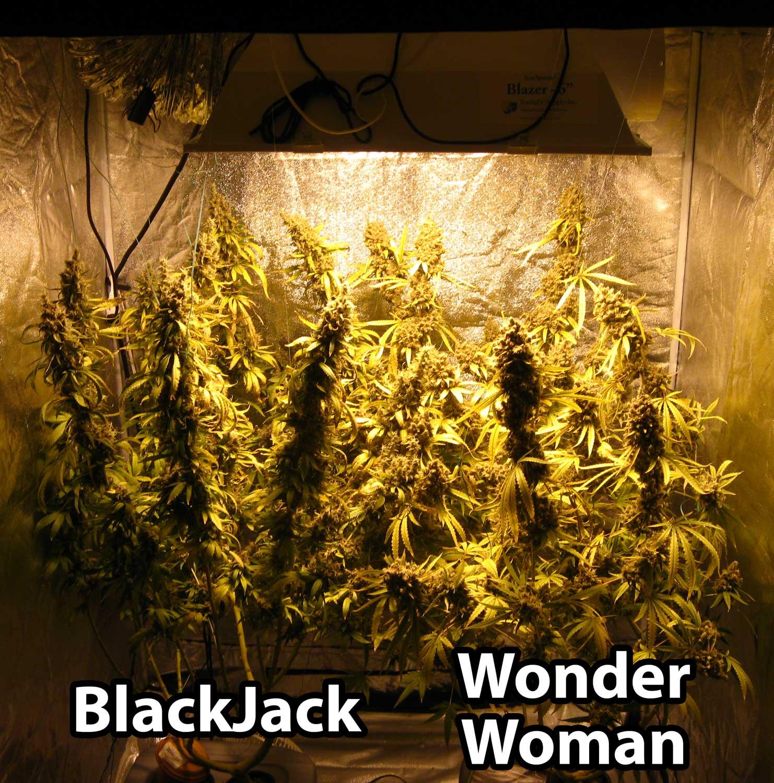 600w Hydroponic Grow Journal 23 09 Oz Harvest Grow
