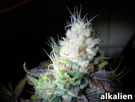 """White tip of this """"albino"""" cannabis plant is actually caused by light bleaching"""