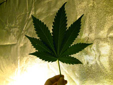 An example of a 7-finger cannabis leaf (most common type of leaf for adult cannabis plants)