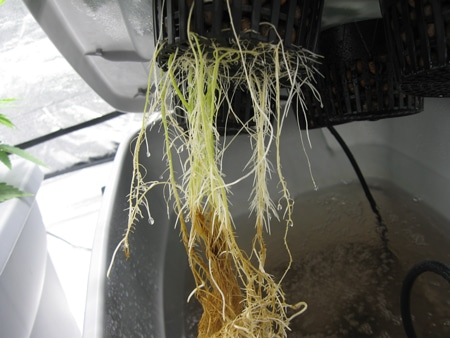 Cannabis roots in hydro with root rot - brown roots and leaves are wilting - root rot is often triggered by heat