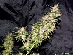 Bubblelicious plant #1 cola at harvest - the Pro-Grow LED light produced surprisingly dense and lush top colas
