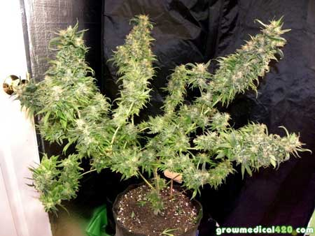 Bubblelicious #1 cannabis plant at harvest - grown completely under LED grow lights - huge top colas!