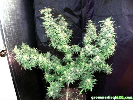 Bubblelicious #2 cannabis plant at harvest - grown completely under LED grow lights - huge top colas!