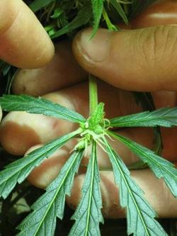 Bud growing on center of cannabis leaf - mutation